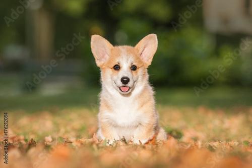 Welsh corgi pembroke puppy in autumn