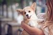 Welsh corgi pembroke puppy on its owners hands