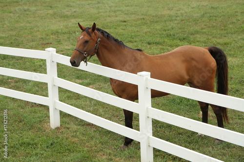 Fotobehang Paarden Brown horse in a field
