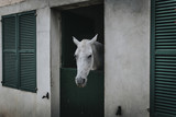 White horse showing the head through stable door. - 176218400