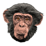 monkey head sketch vector graphics color picture - 176231002
