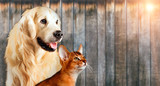 Cat and dog together, abyssinian cat, golden retriever look at right with sticking out tongue - 176244068
