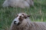 sleepy sheep - 176246081