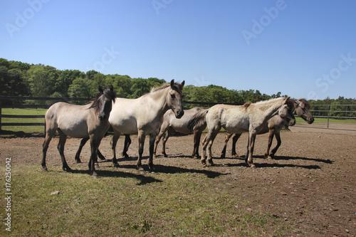 pferde auf der weide Poster