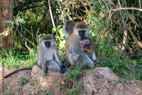 Fotobehang Aap Vervet monkey or Chlorocebus pygerythrus