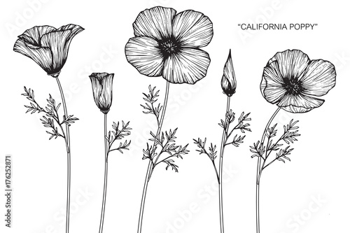 California poppy flower drawing.