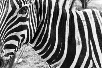 portrait of zebra. Black and white version.
