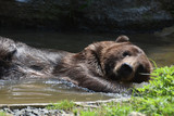 Wild Silvertip bear bathing in the water - 176254069