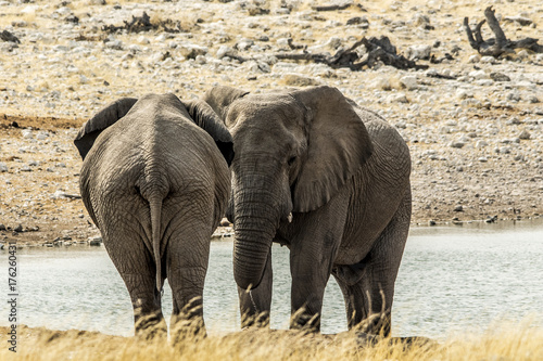 Elefante africano Poster