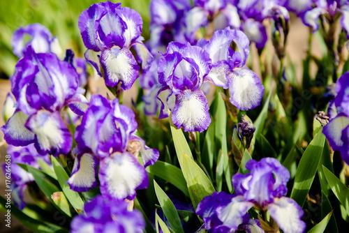 Fotobehang Iris Purple irises bloom in the botanical garden