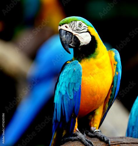 Fototapeta Beautiful parrot