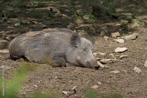 ruhendes Wildschwein Poster