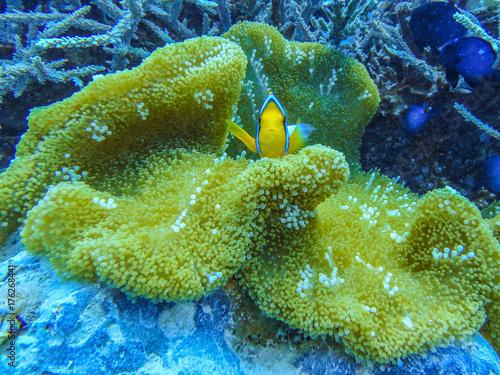 Anemone mit Clownfischen Poster