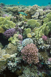 Underwater world , coral reef life, colorful corals, landscape, coral reef Red Sea