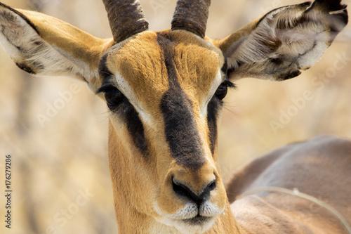 Naklejka Impala testa nera