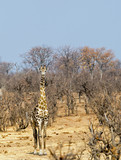 Full Length Giraffe standing in the bush looking directly ahead, with a natural bush veld and blue sky background in Hwange, Zimbabwe - 176292831