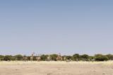 Giraffes at the Etosha National Park / Giraffes and zebras in Etosha National Park, Africa. - 176293499