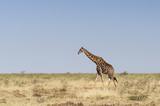 Giraffes at the Etosha National Park / Giraffe in Etosha National Park, Africa. - 176294026
