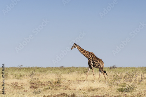 Keuken foto achterwand Beige Giraffes at the Etosha National Park / Giraffe in Etosha National Park, Africa.