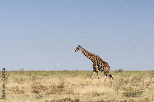 Giraffes at the Etosha National Park / Giraffe in Etosha National Park, Africa Poster