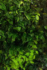 Green background of fern leaves, plush and dieffenbachia. Exotic plants. Flat composition concept