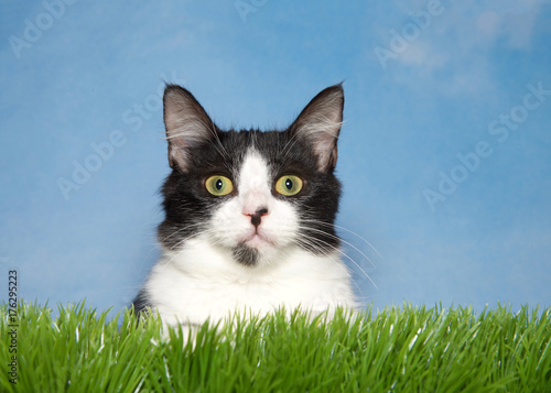 Close up portrait of a black and white tuxedo kitten laying in green grass looking directly at viewer. Blue background sky with wispy clouds