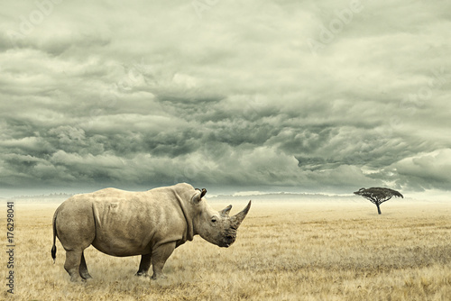 Rhino standing in dry African savana with heavy dramatic clouds above - 176298041