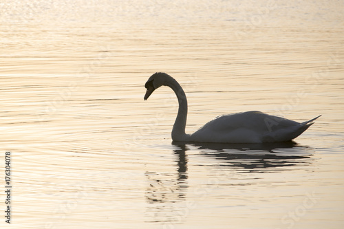 Fotobehang Zwaan Swan on Loch at Sunset