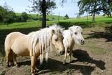 pony auf der wiese im sommer - 176307035