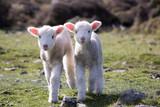 New Zealand Lambs  - 176311427