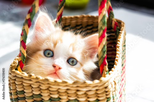 cute blue eyed kitten in a basket