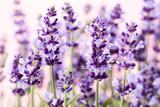 Lavender flowers. - 176318608