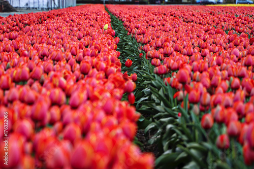 Fotobehang Tulpen Netherlands (Holland)