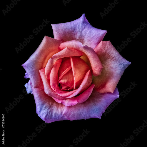 Colorful floral macro  of a single isolated violet orange pink flowering rose bl Poster