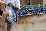 Asti, Italy - September 10, 2017: Women sitting on an old wagon carry bunches of black grapes for grape harvest - 176341648