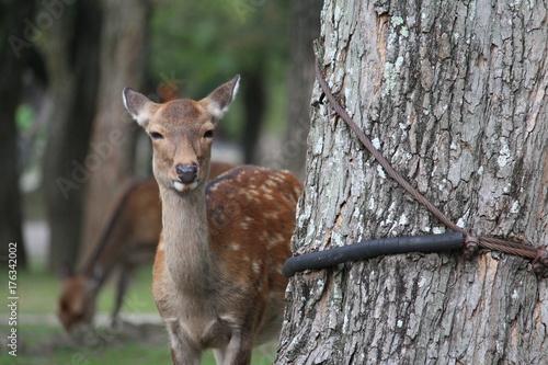 Fotobehang Hert Nara deer