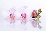 Orchid flowers with reflection on a white background.