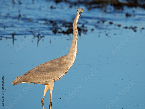 Great Blue Heron Stretching Poster