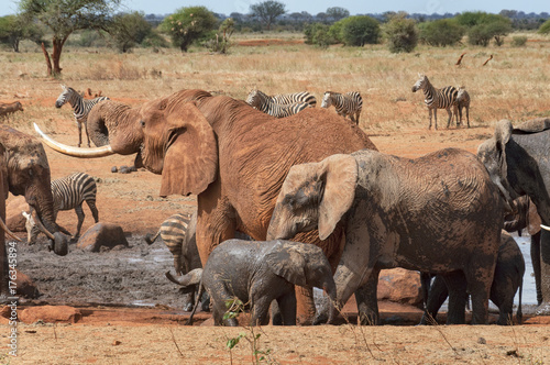 Many elephants and zebras at the waterhole. Poster