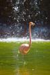 Quadro Pink flamingo in the pond. Phoenicopterus ruber.