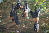 Several Lyle's flying foxes. Pteropus lylei. - 176346650