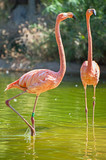 Pink flamingos in the pond. Phoenicopterus ruber. - 176346677