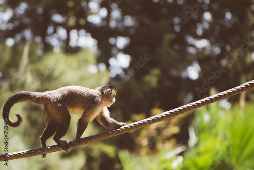 Fotobehang Natuur Monkey walking along the rope in national zoo.