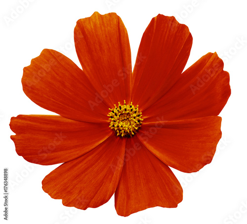 Fotobehang Rood traf. Red flower Kosmeja white isolated background with clipping path. No shadows. Closeup. Nature.