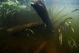 Underwater view of the river bottom with old trees and weed - 176351080