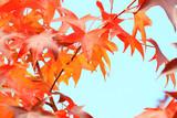 Autumn leaves on maple tree - 176352011