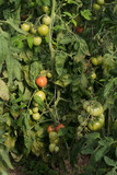 Tomatoes in hobby greenhouse. - 176353063