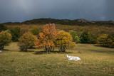 Paesaggio autunnale con una mucca nel prato - 176361671