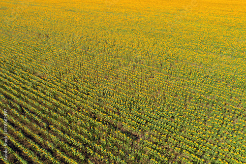 Aerial drone view of the sunflower field at sunset in perspective, bright yellow and green gradient