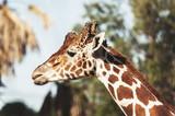 Girafe - 176367036